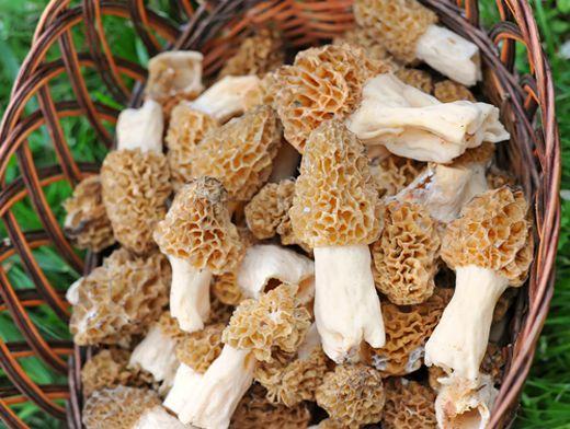 Гриби зморшки (сморчки) — перші весняні гриби