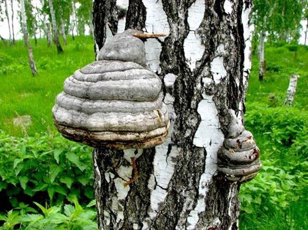 Березовий гриб чага