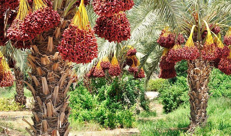 Фініки – корисні і смачні фрукти