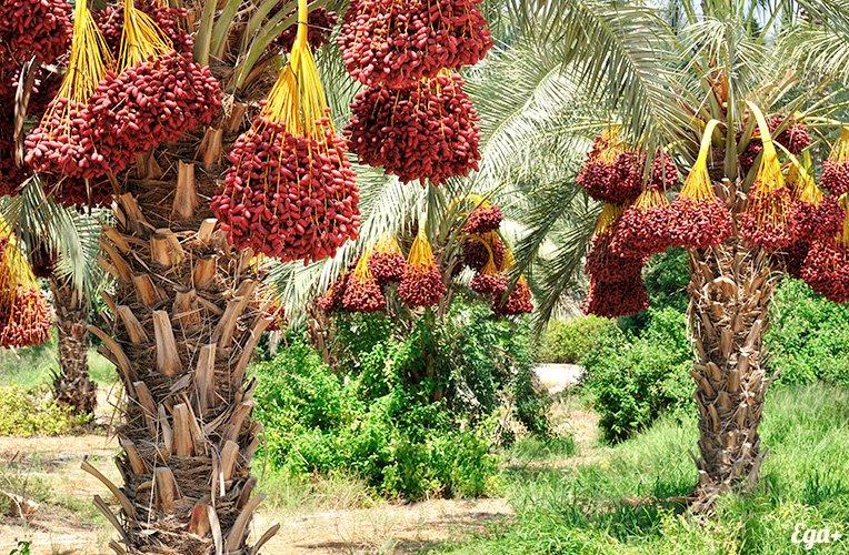 Фініки — корисні і смачні фрукти