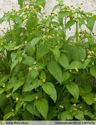 Галінсога дрібноквіткова (Galinsoga parviflora Ruiz et Pav.)