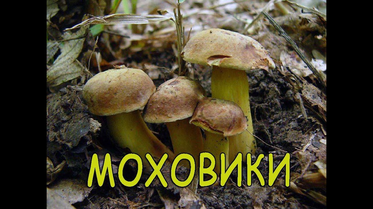 Гриби Моховики