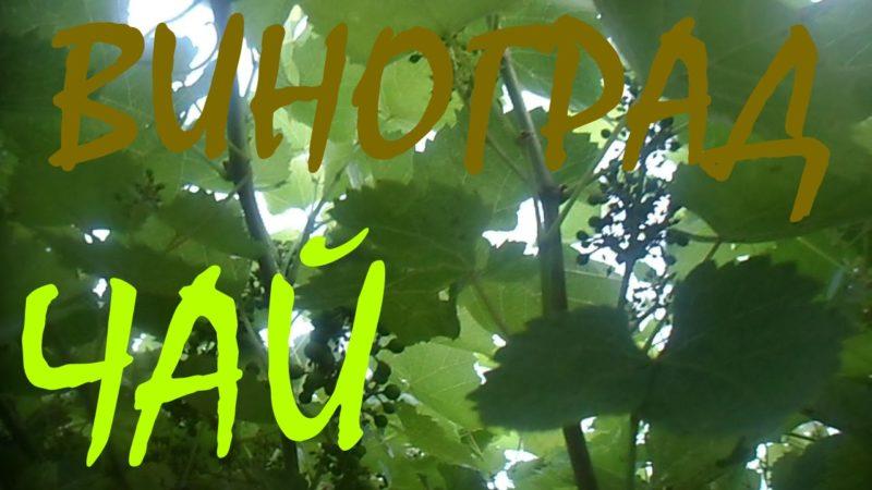 Чай з листя винограду