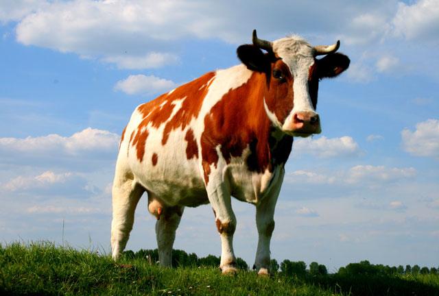 Житель Бразилії загинув під коровою