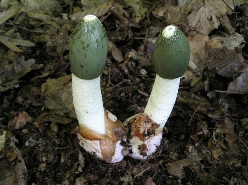 гриб веселка від раку як приймати
